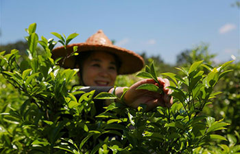 Farmers busy with making tea in China's Fujian