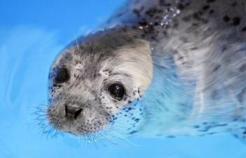 "Three seal pups enter ""seal kindergarten"" at Harbin Polarland"