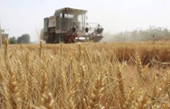 In pics: wheat harvest across China