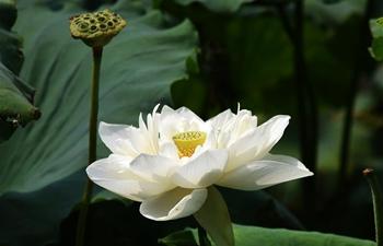 Lotus flowers bloom on Daming Lake in east China's Shandong
