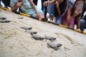 Newborn Hawksbill sea turtle seen in Singapore's Sentosa Island
