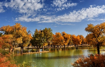 In pics: populus euphratica forest in Ejin Banner, N China