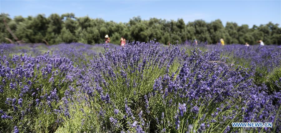 Tourists visit lavender farm during Lavender Festival in