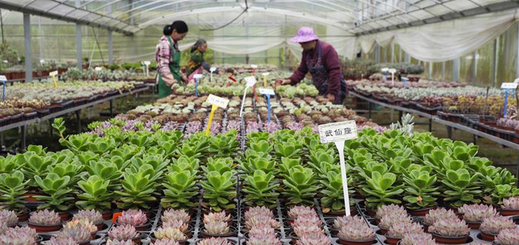 Succulent farming industry helps boost farmers' income in China's Zhejiang