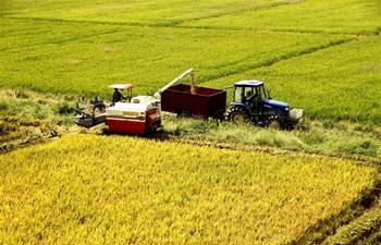 Farmers busy harvesting rice in E China's Jiangxi