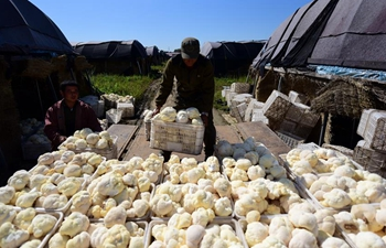 Farmers busy harvesting fungus in northeast China's Heilongjiang