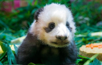 "Baby giant panda ""Long Zai"" makes public debut in Guangzhou"