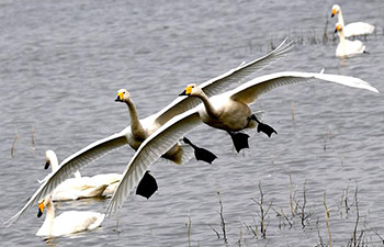 Migratory swans spend winter at central China's wetland