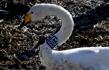 White swans fly from Siberia to Yellow River wetland to spend winter