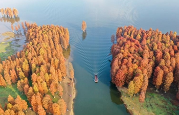 In pics: colored forest of Taxodium ascendens in China's Zhejiang