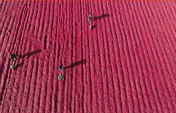Farmers dry chilli peppers in north China's Hebei