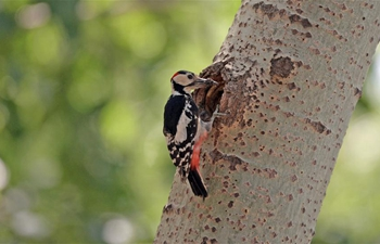 In pics: great spotted woodpecker in NE China's Liaoning