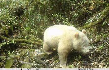 Rare all-white panda spotted in China