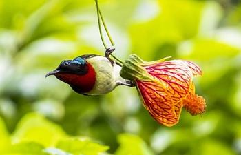 Fork-tailed sunbird flies among flowers in Chongqing