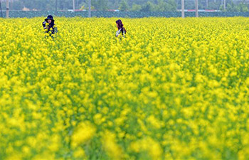 Scenery of cole flowers in Shenyang, China's Liaoning