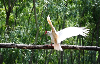 Crested ibises seen in Juhe River area of Yaozhou District in Tongchuan, NW China's Shaanxi