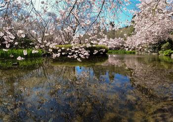 Scenery of cherry blossoms in Wellington, New Zealand