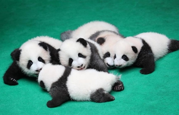Seven giant panda cubs meet public in China's Sichuan