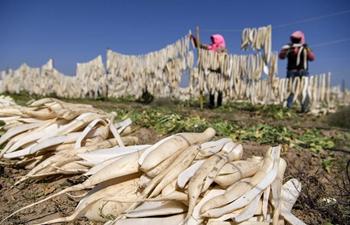 Farmers harvest radishes in Wuzhong, NW China's Ningxia
