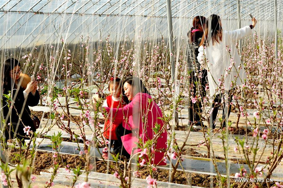 More than 100 Mu (about 6.67 hectares) of peach blossoms here attracted lots of visitors.