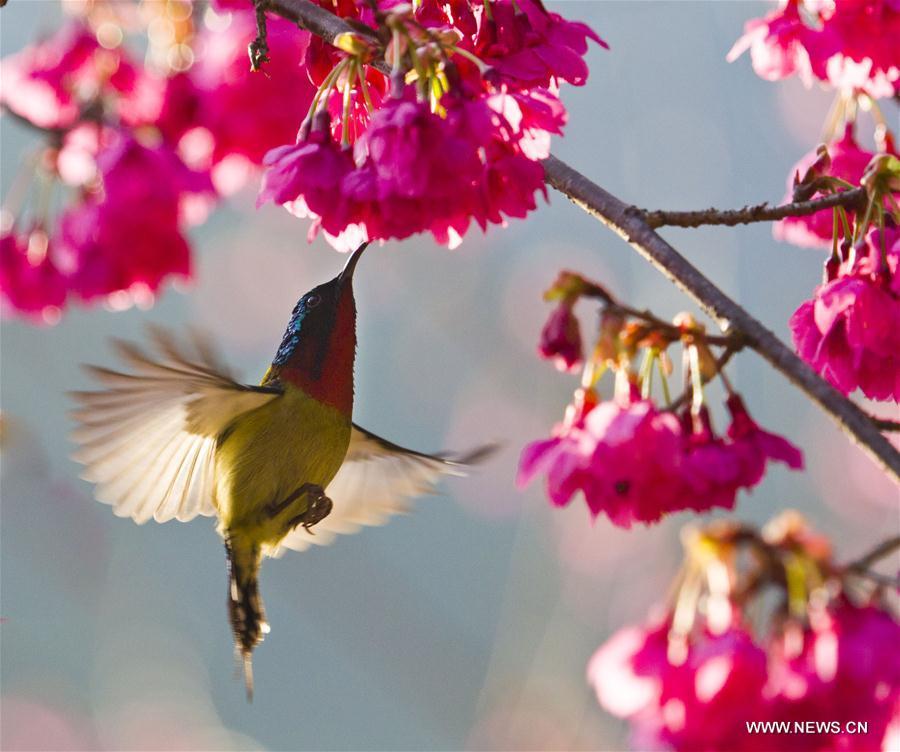 cherry blossoms scenery seen in se china xinhua english news cn