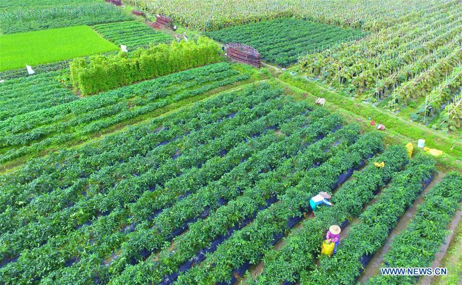 Photo taken on Feb. 15, 2017 shows farmers working at fields in Jiaji Town, Qionghai City of south China's Hainan Province. (Xinhua/Meng Zhongde)
