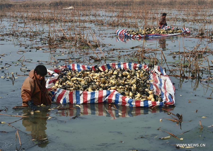 Local people started the laborious work to collect lotus roots recently as the harvest season came.