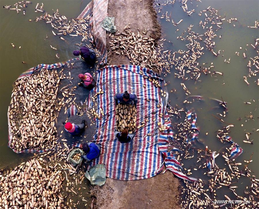 Local people started the laborious work to collect lotus roots recently as the harvest season came.ST (CN)