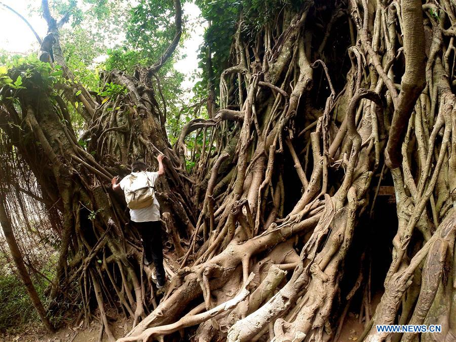 THE PHILIPPINES-AURORA PROVINCE-BALETE TREE