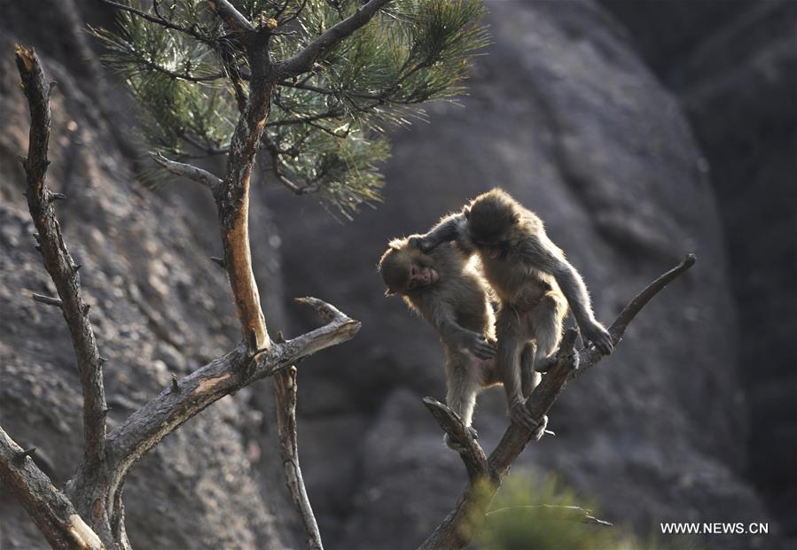 A macaque rests on the branch in the scenic area of Shuangta Mountain in Chengde, north China's Hebei Province, March 16, 2017. (Xinhua/Wang Liqun)