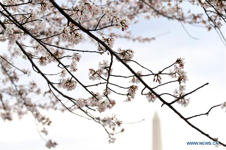 U.S.-WASHINGTON D.C.-CHERRY BLOSSOM