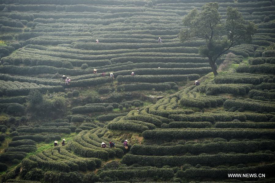 CHINA-ZHEJIANG-WEST LAKE LONGJING TEA-HARVEST (CN)