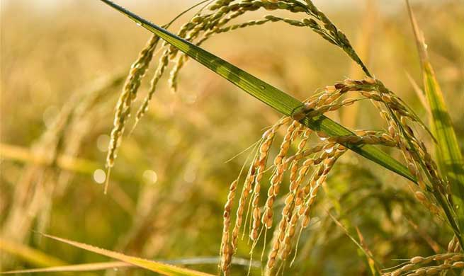 Paddy cultivation area in China's Yanbian surpasses 46,000 hectares