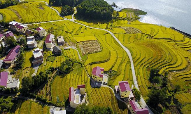 Autumn scenery of paddy fields in SW China's Guizhou