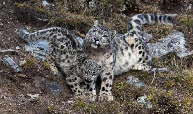 China home to snow leopards