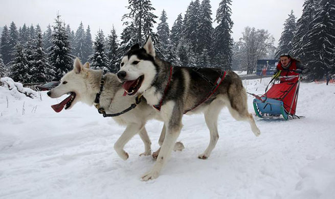 Sled dog sprint competition held in Romania