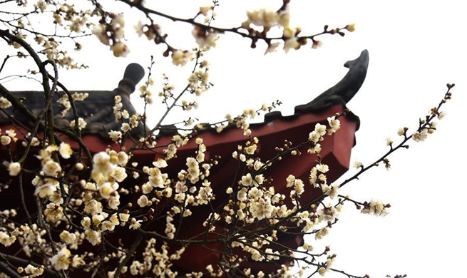 Blooming wintersweet flowers seen in Wuhan