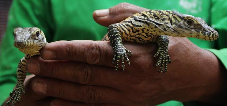 Take closer look at baby Komodo dragons in Surabaya, Indonesia