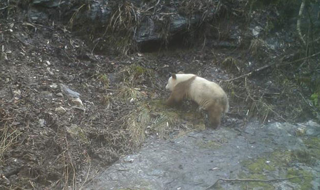 Rare brown panda caught on camera in China