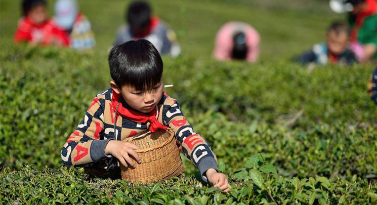 Pupils experience tea picking in Hubei