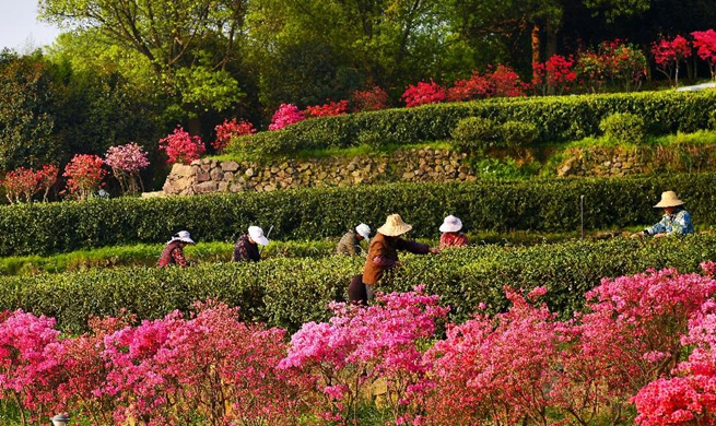 Growers in E China harvest spring tea among azalea blossoms