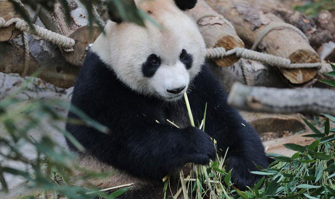 Overseas-born pandas meet public in southwest China