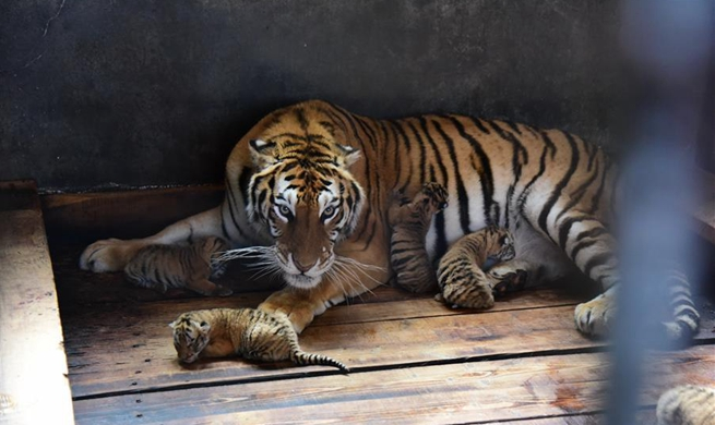 Siberian tiger gives birth to quintuplets in China's Heilongjiang