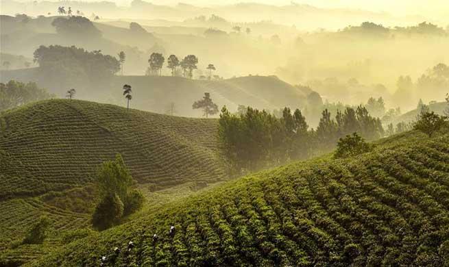 Tea garden offers jobs to poor households in C China's Henan