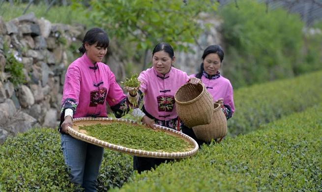 Workers pick tea leaves in N China's Hebei