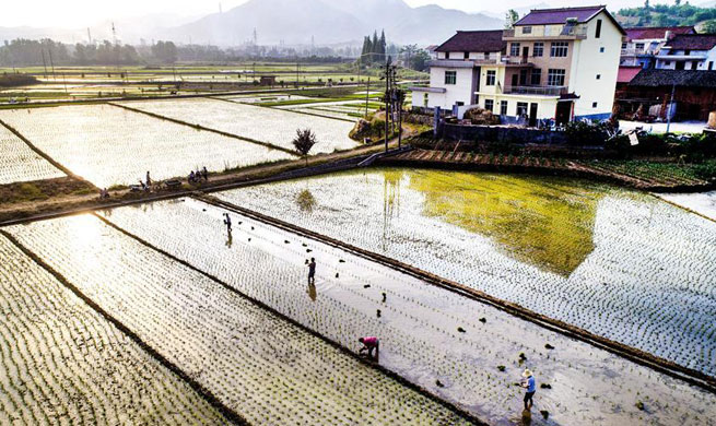 Farmers plant paddy rice seedlings in NW China's Shaanxi