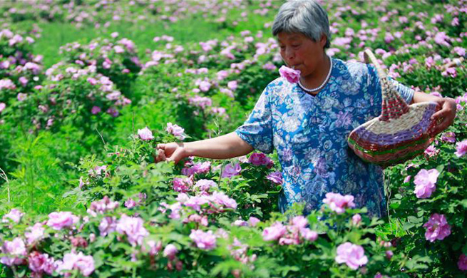 Rose industry improves economic development of small town in east China's Shandong