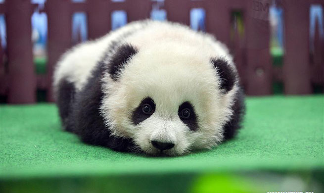 Second giant panda born in Malaysia makes public debut