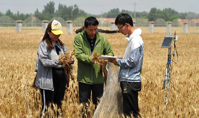Workers of experimental station busy sampling wheat to boost agricultural innovation