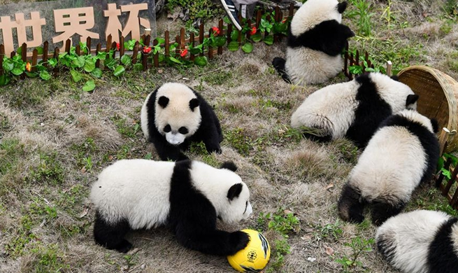 Giant pandas take part in football-themed party in China's Sichuan